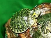 Trachemys (tartaruga acquatica della Florida)